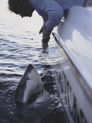 2,500 pound Great White shark caught off the coast of Hilton Head South, Carolina