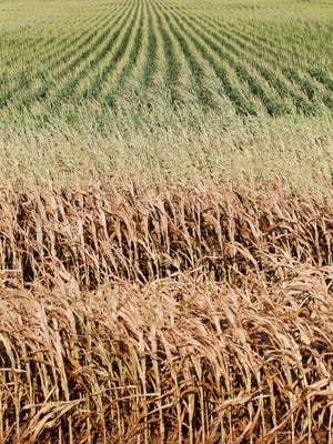 Browning corn stalks creep into a drought stressed corn field on July 23, 2012 north of Denison.