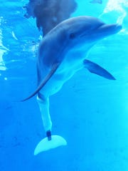 Thanks to Dan Strzempka's and Kevin Carroll's ingenuity, Winter became the first dolphin to have her entire tail fluke replaced with a prosthetic device.