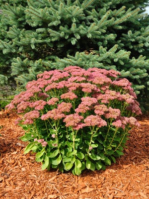 Colorful sedum add interesting blooms to fall gardens.