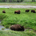 Bison graze near a stream in Yellowstone National Park in Wyoming in 2014. A proposal to revamp an agreement between Montana and federal officials that allows for the mass slaughter of wild bison migrating from Yellowstone National Park will get its first public airing next week.
