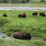 Bison graze near a stream in Yellowstone National Park in Wyoming.