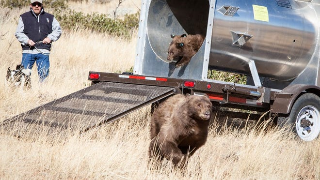 Nevada Department of Wildlife officials release a bear and her three cubs near Ash Canyon on Friday, Nov. 14, 2014. The bears were found raiding garbage cans and searching for fallen fruit from trees.