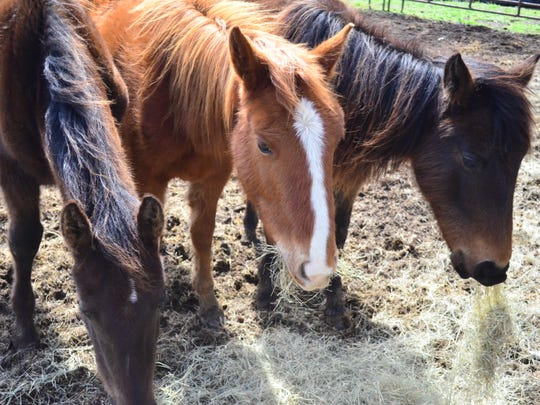 A St. Patrick's Day rescue with Volunteer Equine Advocates