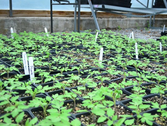 Late April to early May is the best time to plant tomatoes outside.