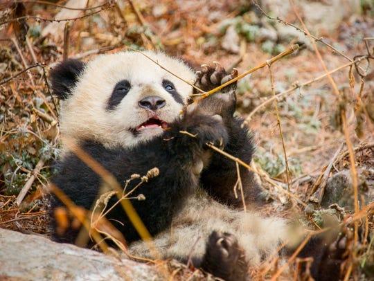 Panda Mei Mei is comedy in motion in 'Born in China.'