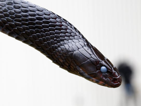 The offspring of this Eastern Indigo Snake were released