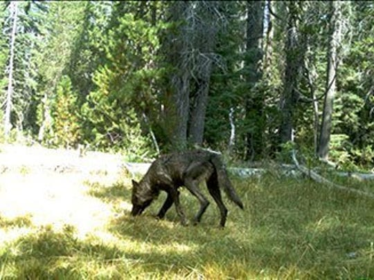 California Department of Fish and Wildlife This photo of a gray wolf was taken last summer in Siskiyou County by a trail camera.