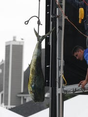 Reel Chaos out of Ocean City, Md. brought a 67.5 dolphin in to be weighed at the scales on Tuesday on Day 2 of the 43rd Annual White Marlin Open in Ocean City, Md.