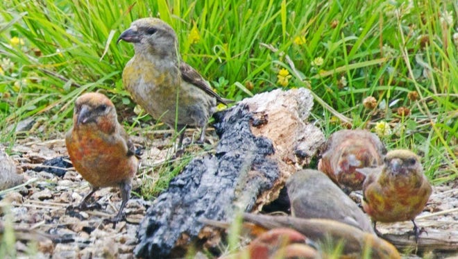 This group of Red Crossbills was spotted along the Blue Ridge Parkway close to Walker Knob.