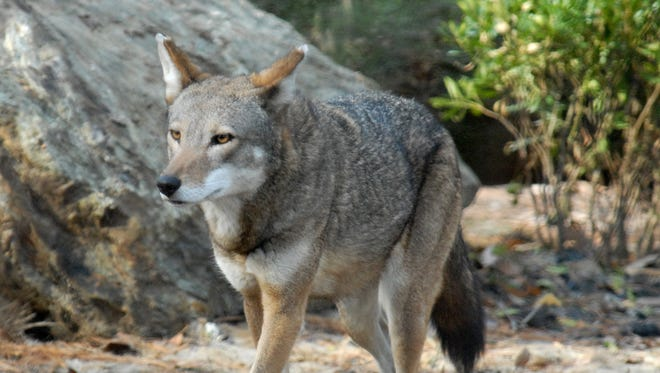 One of the Red Wolf's at the Salisbury Zoo has died.