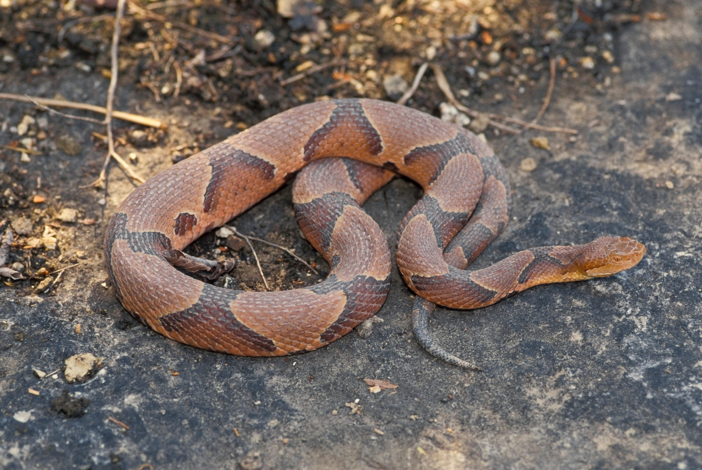 Copperhead of pictures snakes