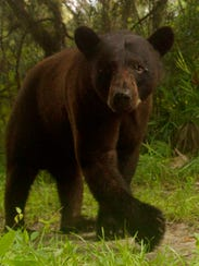 A black bear triggers a camera trap set up in the Florida