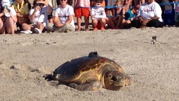 Sally, one of two loggerhead sea turtles released at Disney's Vero Beach Resort, makes her way back to the ocean to the delight of the crowd.