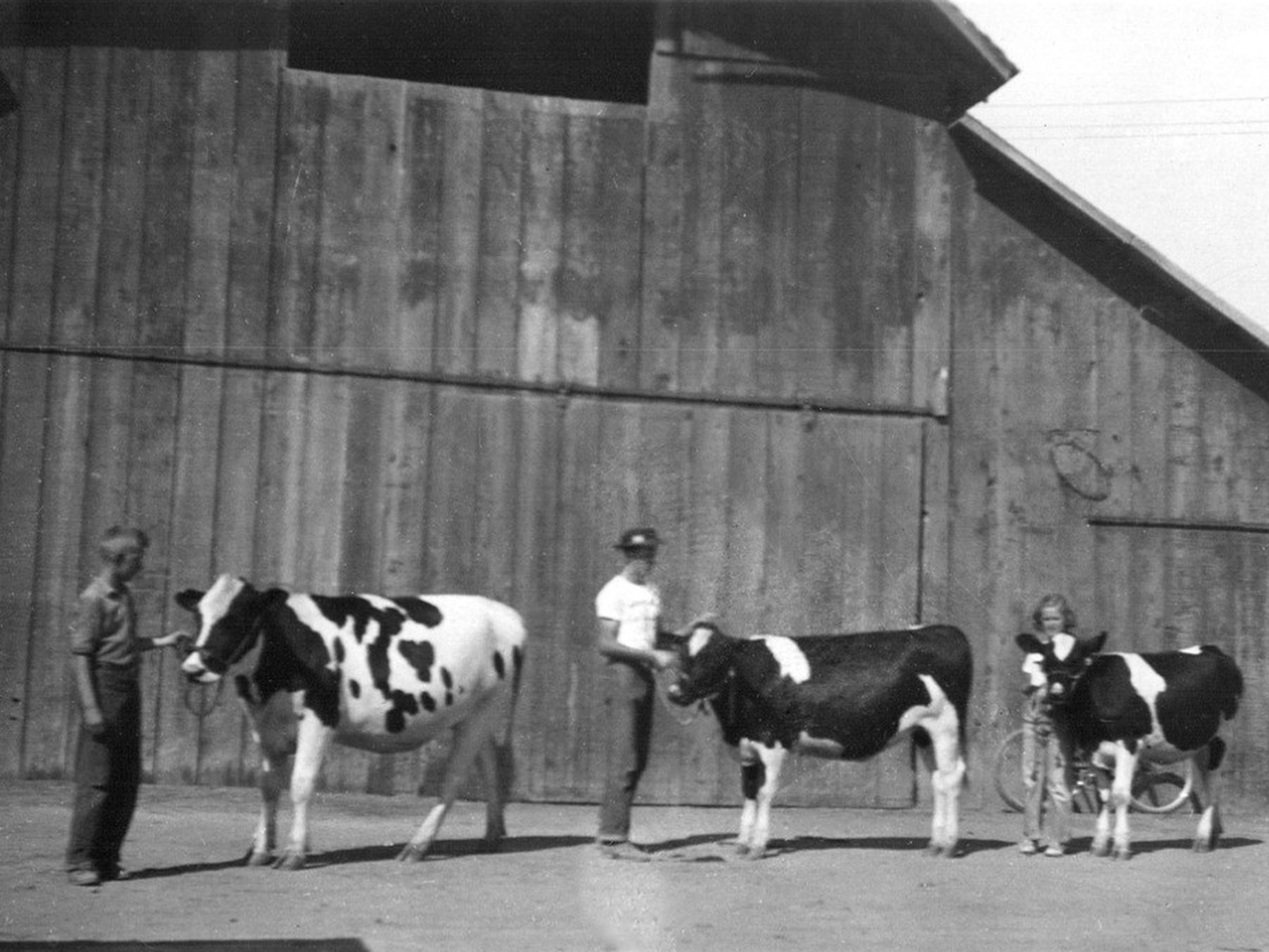 "The Clark children, Don, left, Bob and Anna Lou, practice showing their Holstein cows at their ranch west of Tulare for an upcoming 4-H or Tulare County Fair. During the Depression, Bob Clark, now 85, said they were fortunate. ""We had property, cows and chickens, a place to live and something to eat,"" he said."