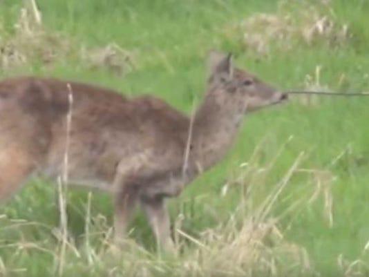 Deer has arrow stuck in face