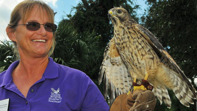 Tracy Frampton is executive director of the Florida Wildlife Hospital and Sanctuary in Palm Shores. Here she is seen with Quinn the Red Shoulder Hawk.