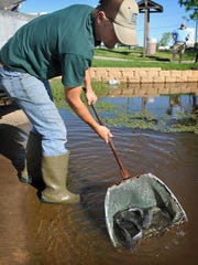 Brandon Early, a technician with the Texas Parks and Wildlife Department, releases channel catfish in April 2016, from the Dundee State Fish Hatchery into the South Weeks Park pond. For the winter, the pond will be stocked with rainbow trout. Children 16 and under can fish for free without a license. A freshwater fishing license is required for anglers 17 and up.