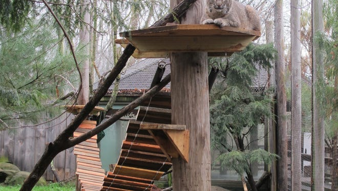 Missy sits atop a structure at the WNC Nature Center