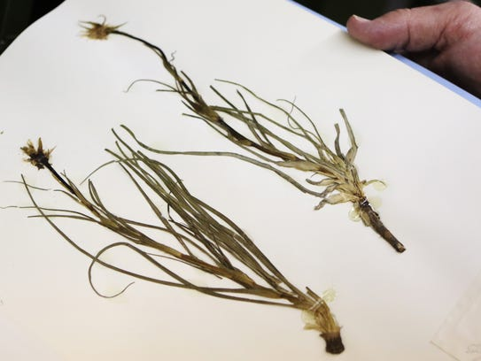 Dennis Bell, Collections Manager of the Herbarium at