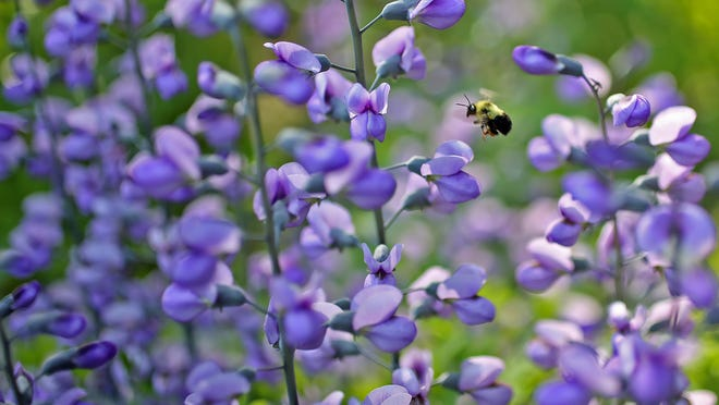 Baptisia Purple Smoke wild indigo are attractive to bumblebees in the Indianapolis Museum of Art's gardens.