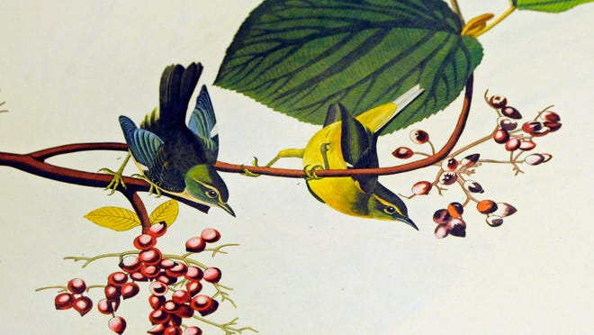 """A portion of one of the pages of """"The Birds of America"""" currently on display."""