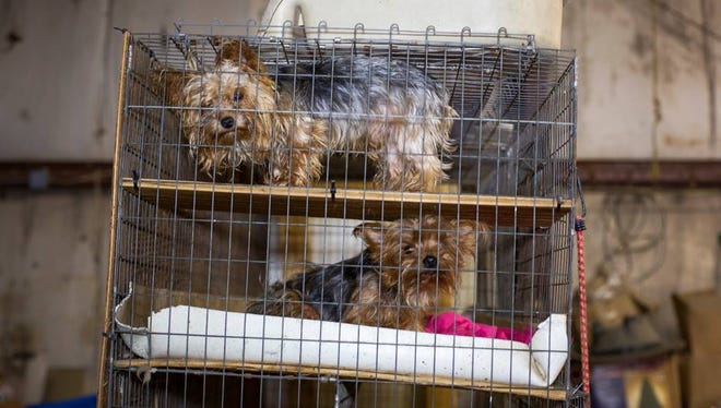 """According to the Facebook page for Animal Rescue Corps, the field team from the organization is at an alleged puppy mill in Gibson County rescuing """"approximately 100 animals from deplorable conditions."""" This picture is on the Facebook post."""