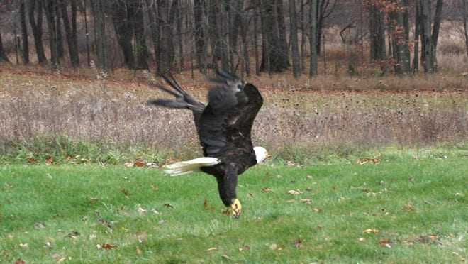 A bald eagle is released back into the wild by members of the Howell Conference and Nature Center after treatment.