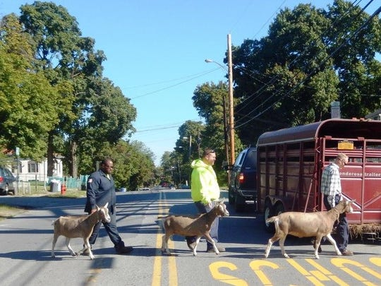 The goats are led from under the Walkway near Delafield Street in September after a job well done.
