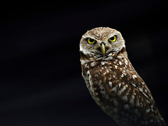 A burrowing owl, a protected species, sits perched