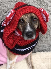 Willow is an adult, spayed, female treeing walker coonhound.