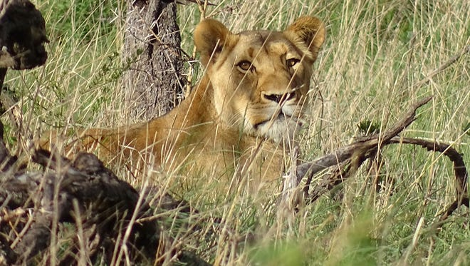 A Lioness, and mother of the cubs, stands guard in Nambiti Game Reserve, South Africa.