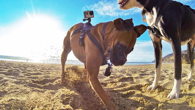 A dog wearing two GoPro cameras, one on his back and one on his chest, held on by what is known as a Fetch dog harness, dig into sand. The harness fits over your dog's chest or back and holds the small, waterproof camera.
