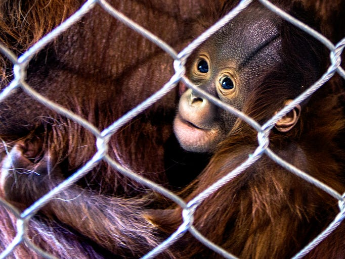 New  orangutan baby Bornean  clings to mom at the Phoenix