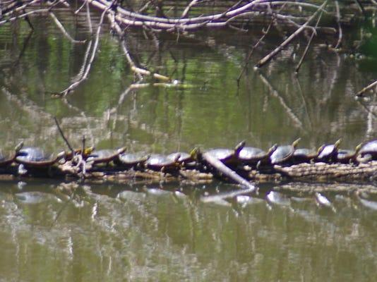 Turtles on Log 20a