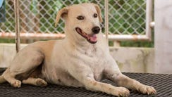 Bridget is one of two dogs rescued in Thailand that