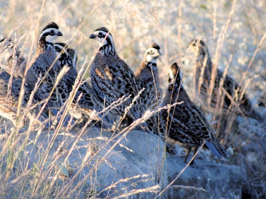 A covey of quail