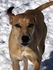 Goldie is an adult, spayed, female hound mix. She is