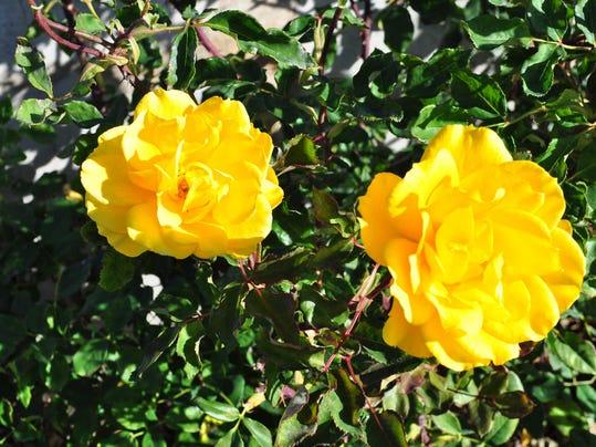 Crum yellow floribunda roses.JPG