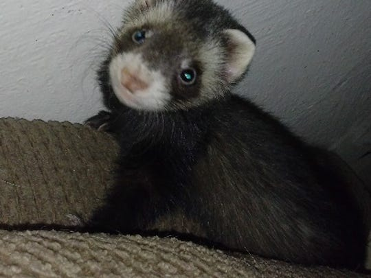 Three-month-old ferret, similar to the one taken from