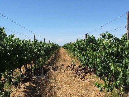 Spier Wine Farm in Stellenbosch, South Africa, is organically