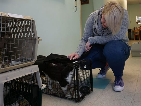 Rachel Smith, an employee at the Spay Spa and Neuter Nook, evaluates a cat from The Humane Society of Somerset County in Davidsonville, Maryland.