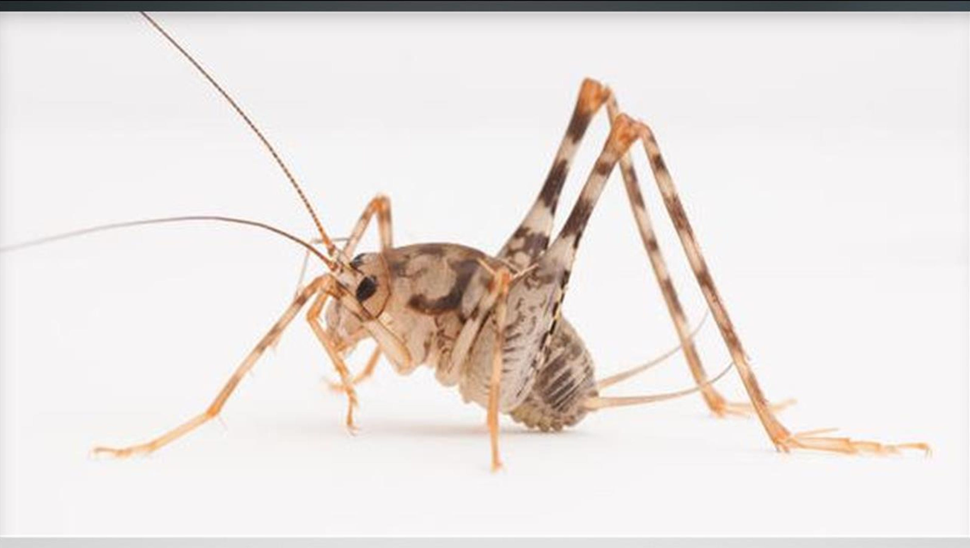 asian camel crickets invade eastern us