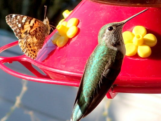 hummer and guest at feeder