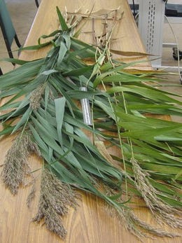 Hunters should not cut or move the seed heads of emergent non-native Phragmites, a restricted noxious weed in Minnesota also known as common reed.