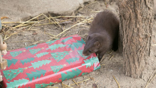 Rio, the Howell Nature Center's resident mink, finds his way into a Christmas package containing a fish treat Tuesday, Dec. 5, 2017.