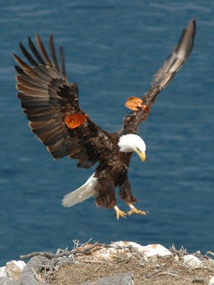 This is a photo from 2014 showing a bald eagle landing on a nest.