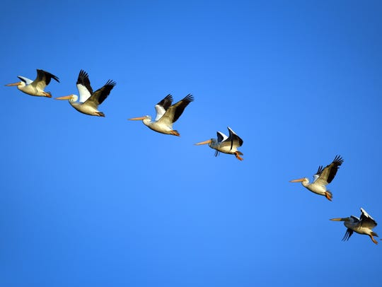 White pelicans fly over Stick Marsh on the Brevard-Indian