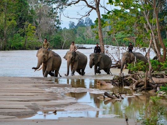 Indonesian mahouts ride elephants along a river in