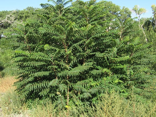 Tree of Heaven is a Class B noxious weed and is a particular